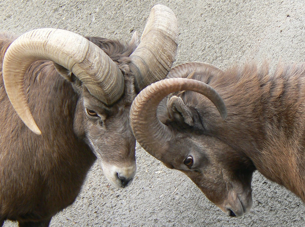 Big Horn Sheep Having a Ceremonial Head Butt - Sage