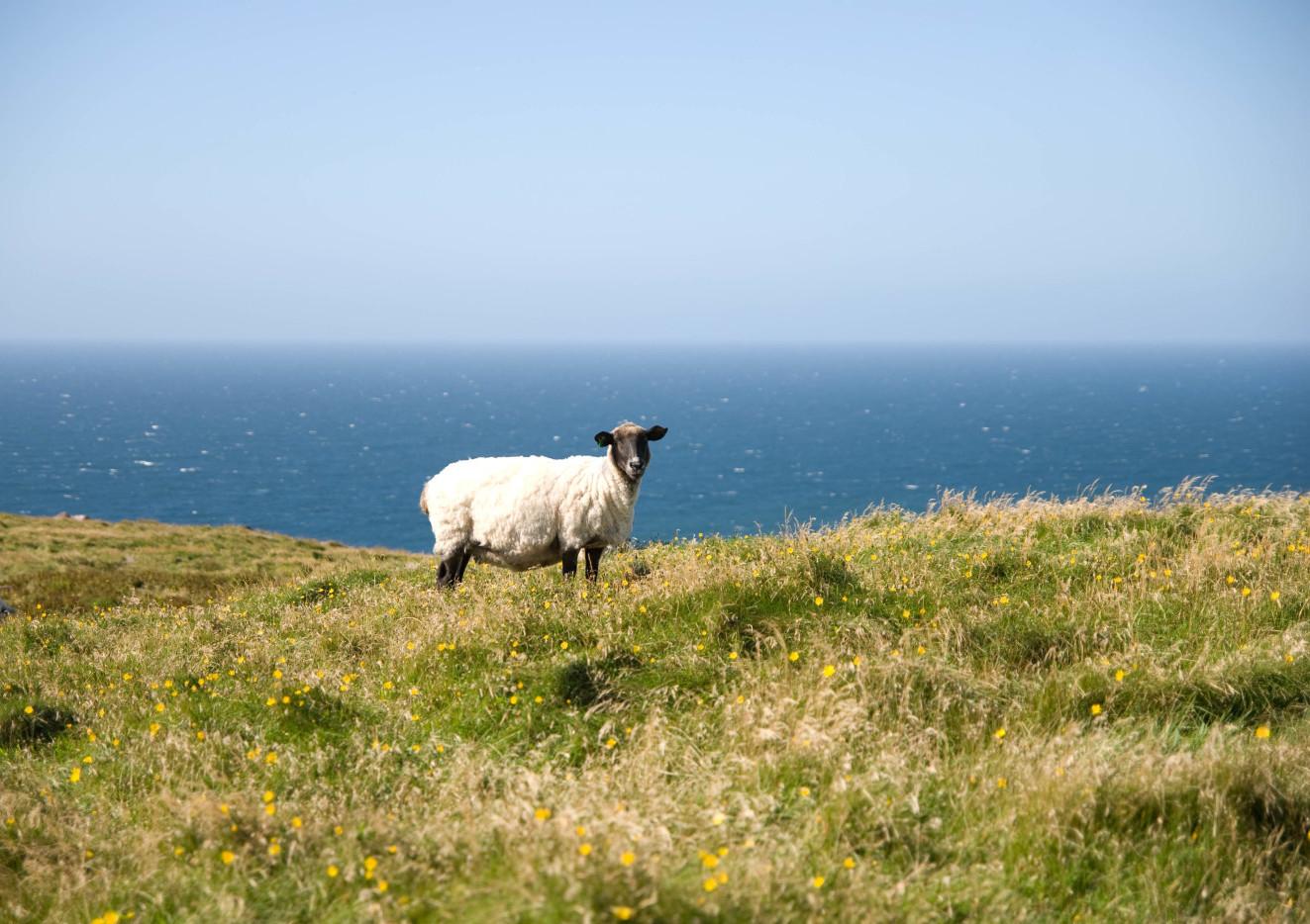 Lone Sheep by Arnaud Limbourg