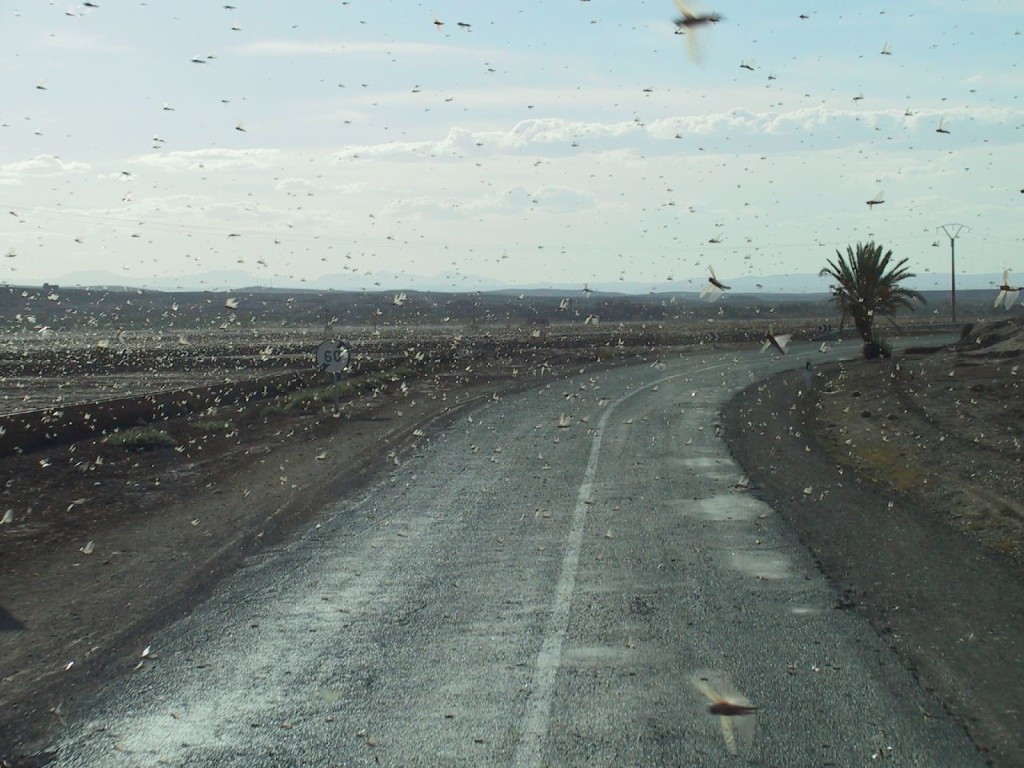 Locusts! North Sahara! - Rob Smart